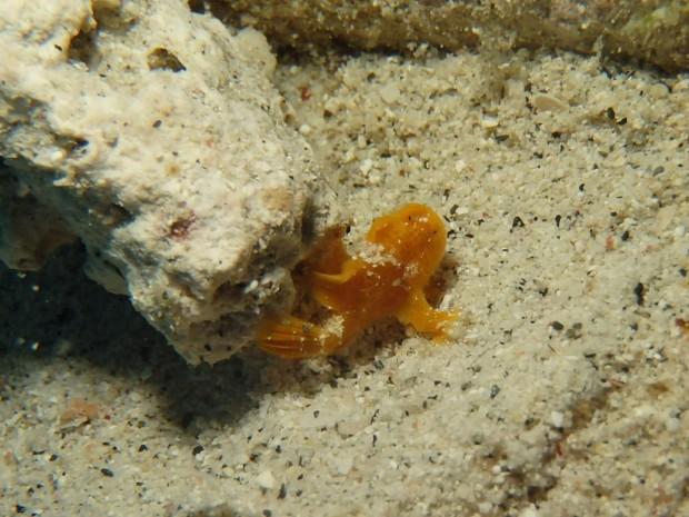 カエルアンコウ幼魚