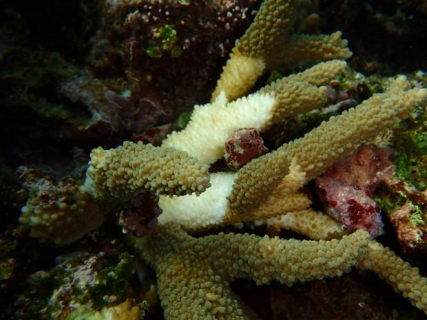 レイシ貝で白化