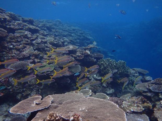 サンゴとアカヒメジの群れ