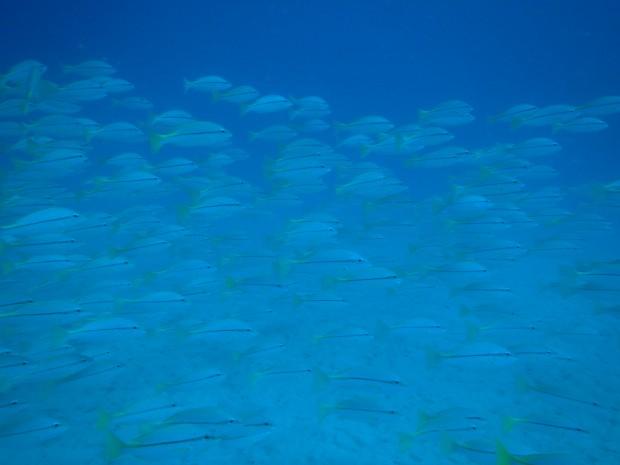 沖縄本島東側の海でタテフエダイの大群!台風影響は引き続き…