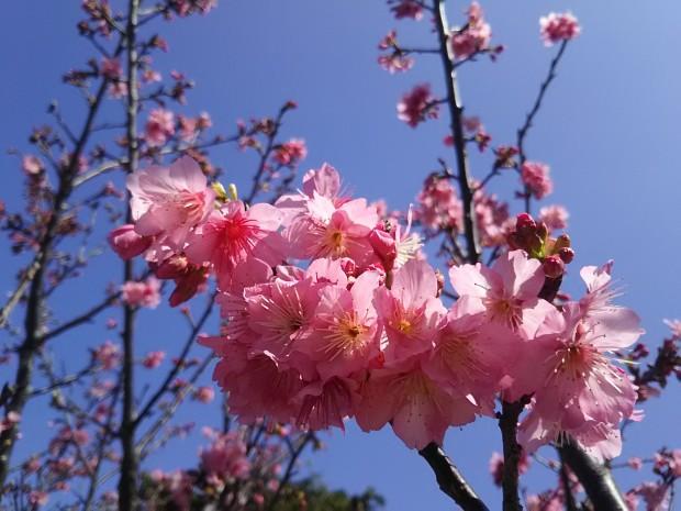 桜の花が見頃の沖縄!アイランダーは3/2(木)まで冬季休業に