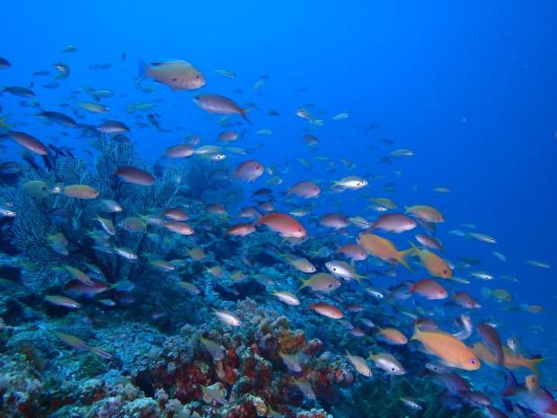 ウチザン礁で水族館を眺めるような魚影満喫ダイブ!沖縄・ケラマ