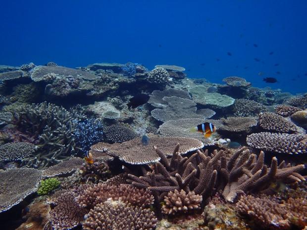 レイシ貝駆除によるサンゴの保全と水中清掃ダイブ。ケラマ・前島