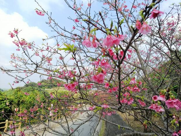 八重瀬の桜