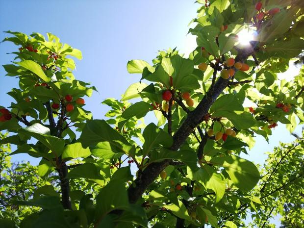 天気回復、気温上昇!桜の実が色付き始めた3月中旬・沖縄!