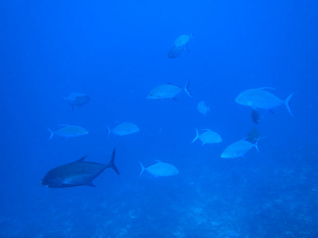 黒島北でナンヨウカイワリの大群に取り囲まれる!台風後の初ケラマ
