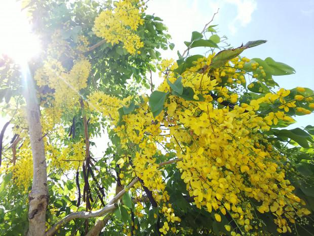 夏目前!陽射しに映えるゴールデンシャワーの花、沖縄6月下旬