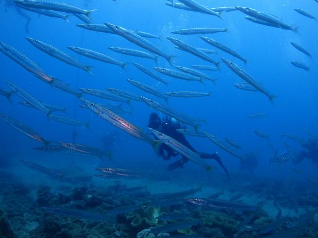 カマスの大群に360度囲まれる!沖縄本島中部・西海岸沿いダイビング
