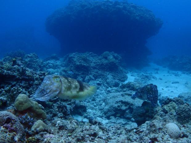 コブシメのペアをじっくり観察!冬季沖縄の見どころ、チービシ海域で