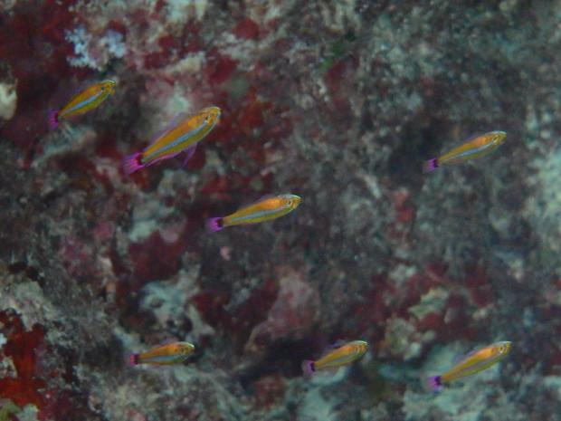 チービシの地形ゾーン潜入、集団で宙を仰ぐアオギハゼ!冬季ダイビングのお知らせ
