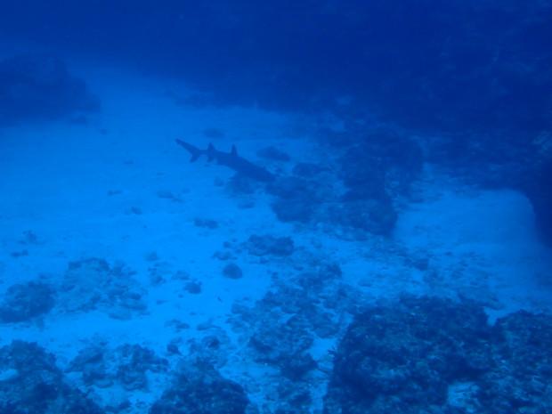 ルカン礁3ダイブは、ネムリブカ回遊のサメ祭り!那覇発日帰りボート