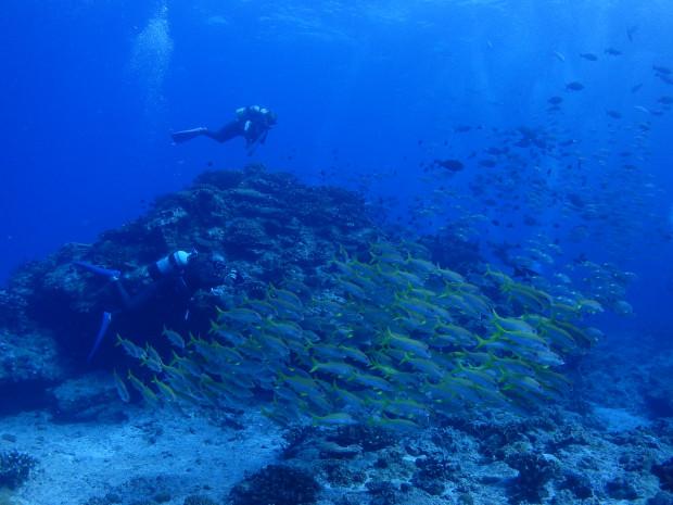 アカヒメジの群れにまみれ、ノコギリダイの群れに隠され、魚影の中でのダイビング!