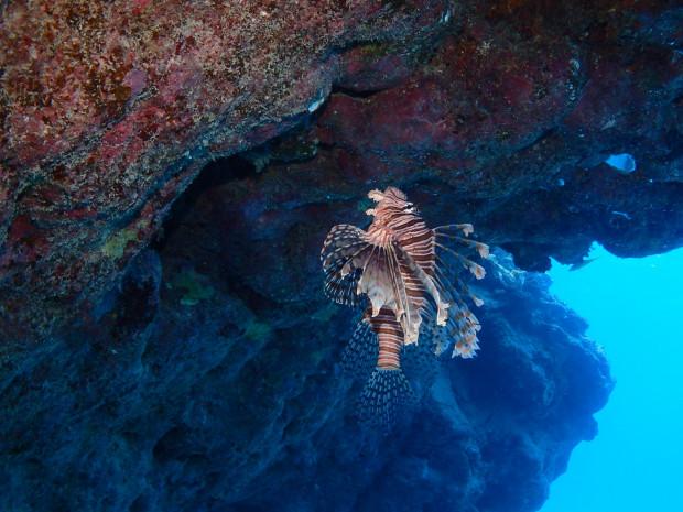 上を向いて泳ごう~♪ハナミノカサゴに倣って臨機応変に。天気・海況続かない1月沖縄