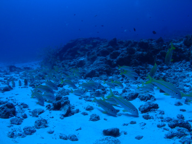 アカヒメジの大群にまみれる沖縄・神山島での1ダイブを思い出し♪ネムリブカもいた~