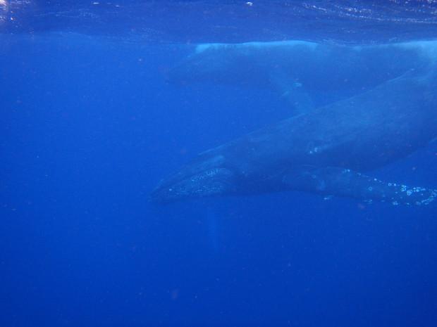 ザトウクジラ回遊シーズン!水中で観察・一緒に泳げた!沖縄1月の海