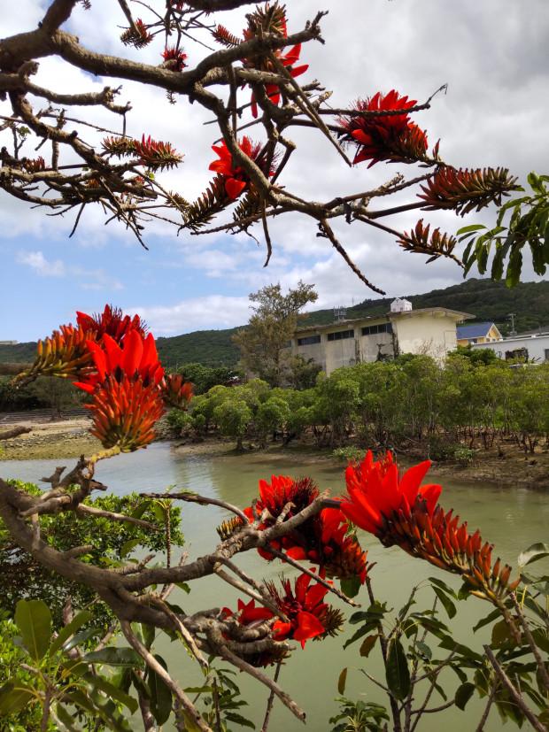 デイゴの色鮮やかな花が目立つ沖縄4月。多く咲く年は台風来襲も多い?