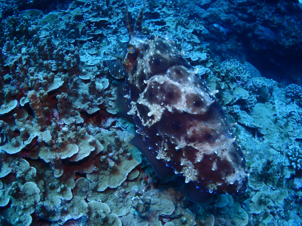 サンゴの枝間ではなく表面にコブシメ産卵・ケラマ黒島ボートファンダイビング