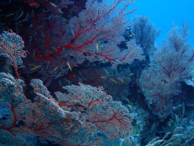 赤いイソバナに集う、黄色と水色のウメイロモドキ幼魚たち!クエフ島ダイビング