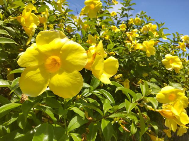 1週間以上ぶり!の青空に映える黄色いアラマンダ。日中最高30度、日陰は風が涼し~