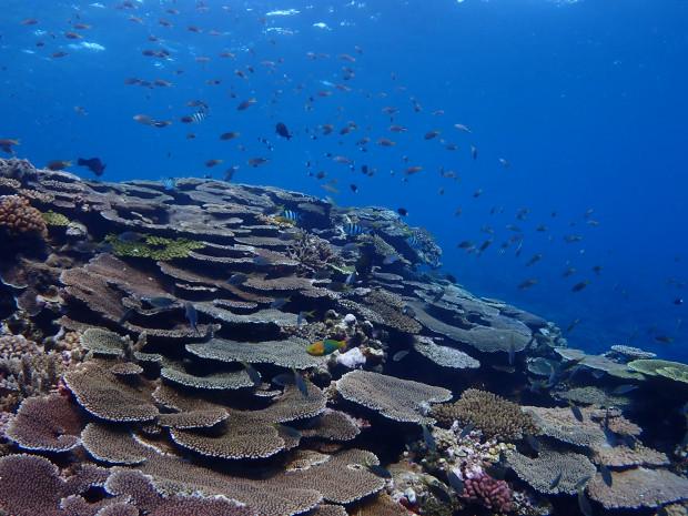 前島「立標」でテーブルサンゴの段々畑を眺める!ケラマボートダイビング