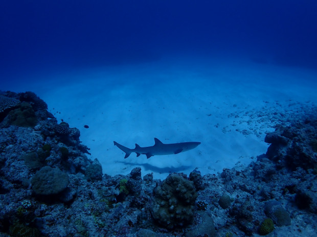 台風後初のダイビングは透明度問題なし!チービシ海域でネムリブカ回遊